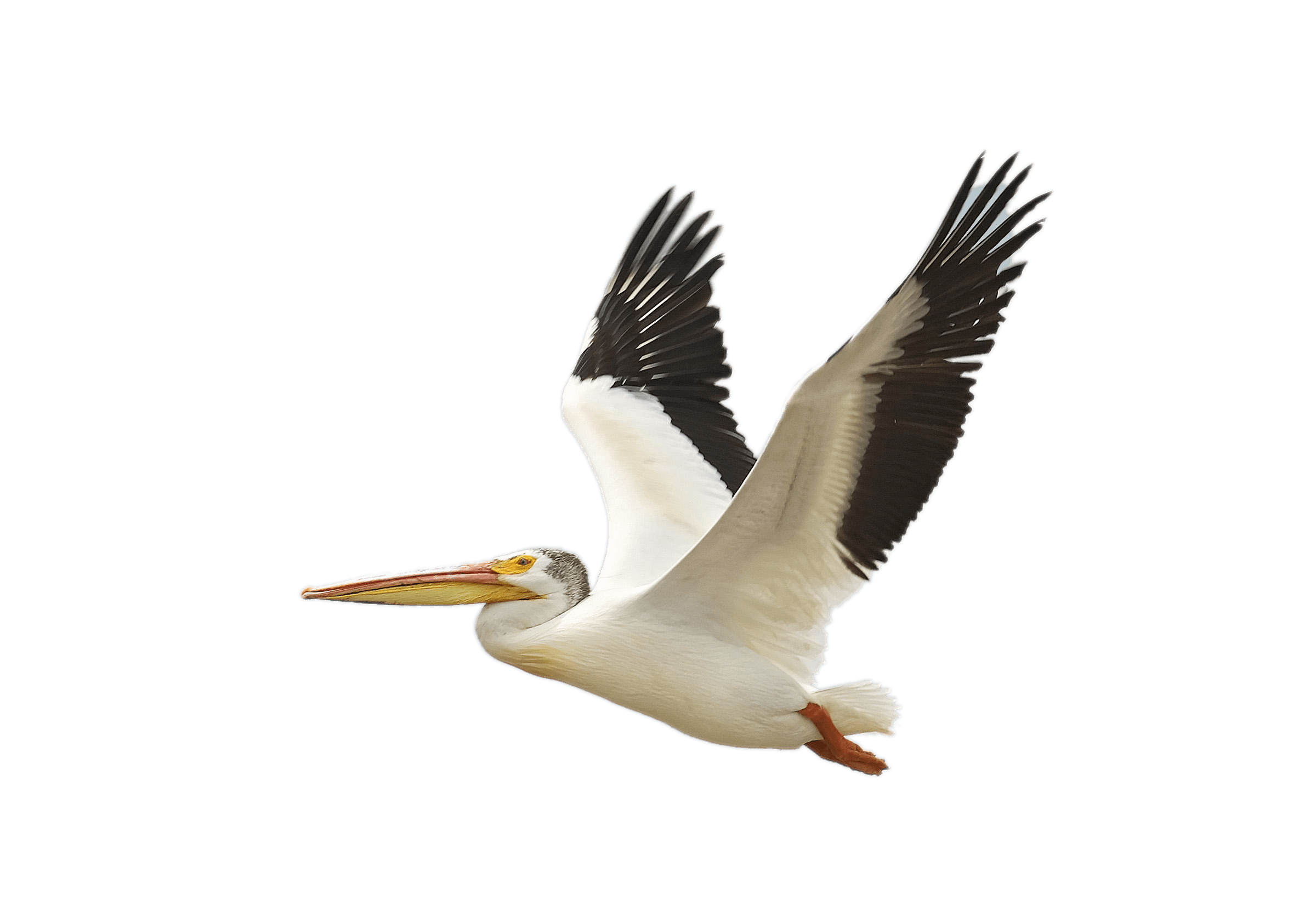 Pelicans Png - Flying White Pelican transparent PNG - StickPNG