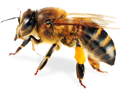 Bee Png Transparent - Foul Brood Quiz | NY Bee Wellness Workshops - Bee HD PNG - Honey Bee PNG