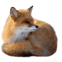 Fox Png - Fox Png Image Download Picture PNG Image