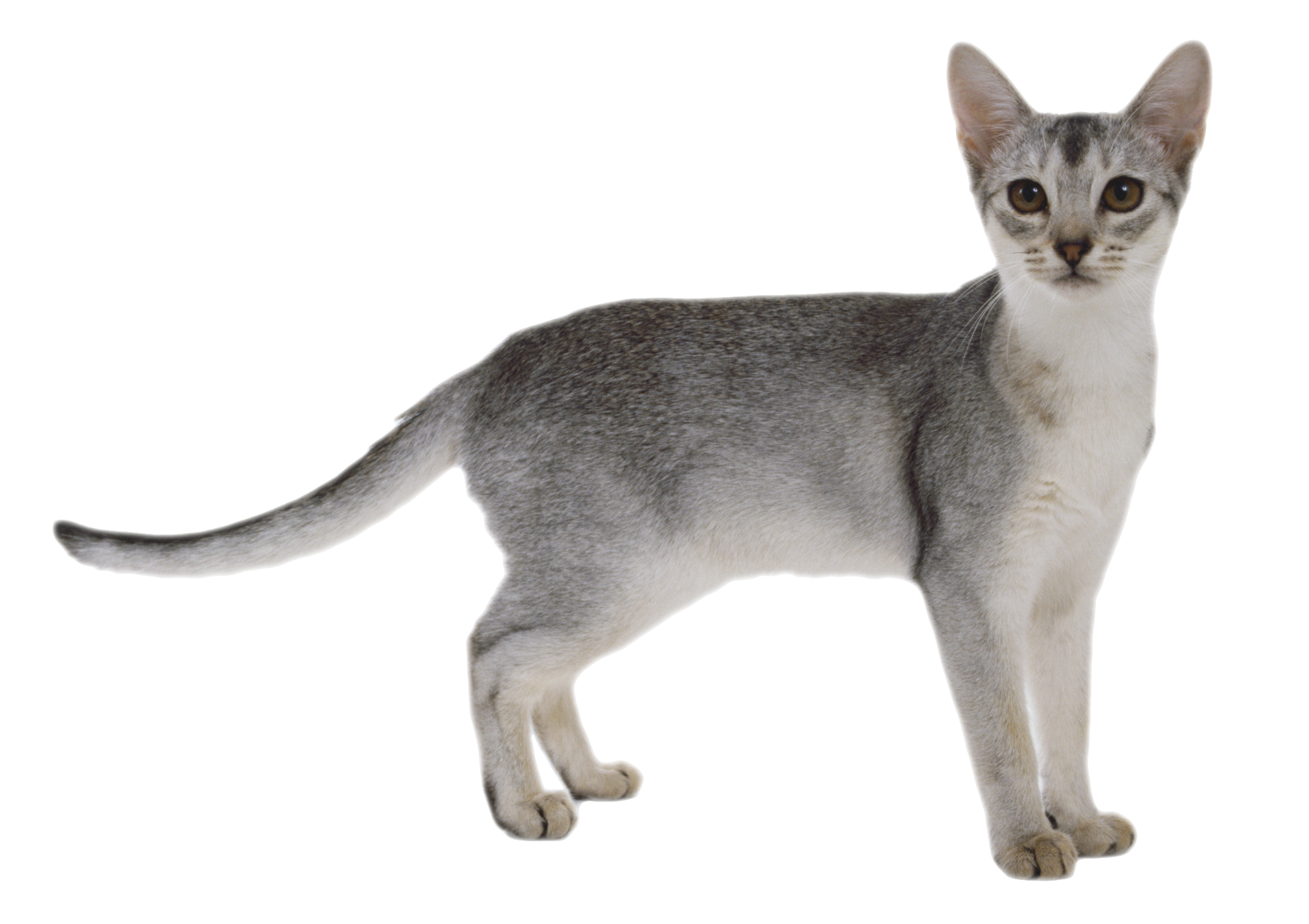 Cat Png - FREE CAT PNG by AbsurdWordPreferred ...