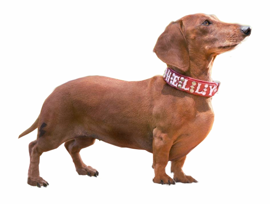 Sausage Dog Png - Free Dachshund Dog Silhouette, Download Free Clip Art, Free Clip ...