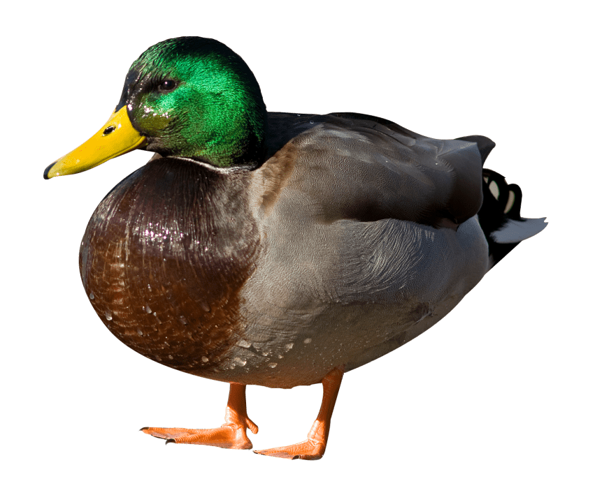 Picture Of Duck Png - free png duck PNG images transparent