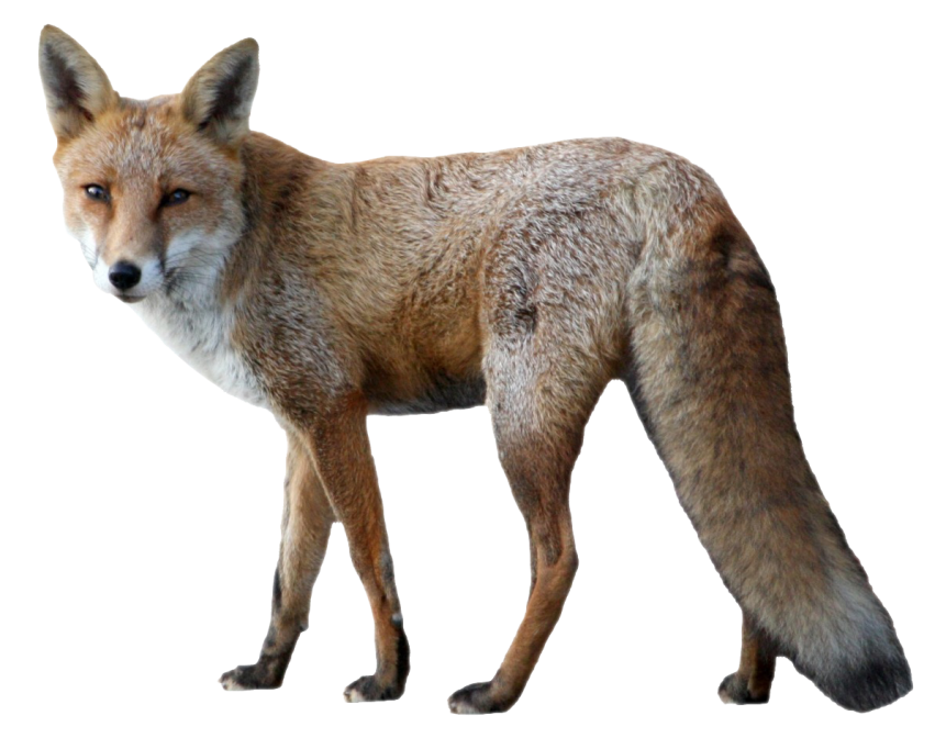Fox Png - free png fox PNG images transparent