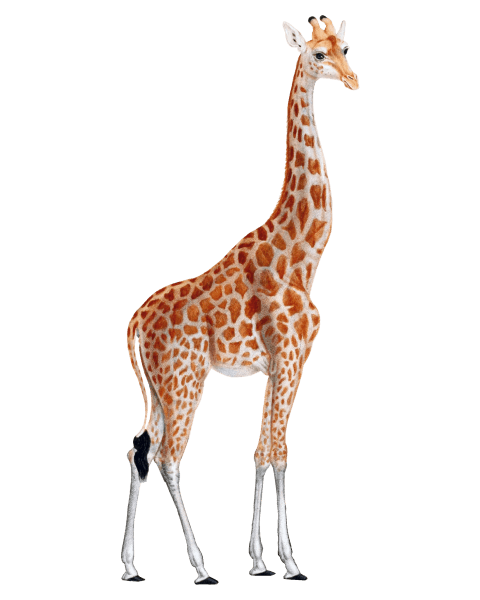 Giraffe Png - free png giraffe PNG images transparent