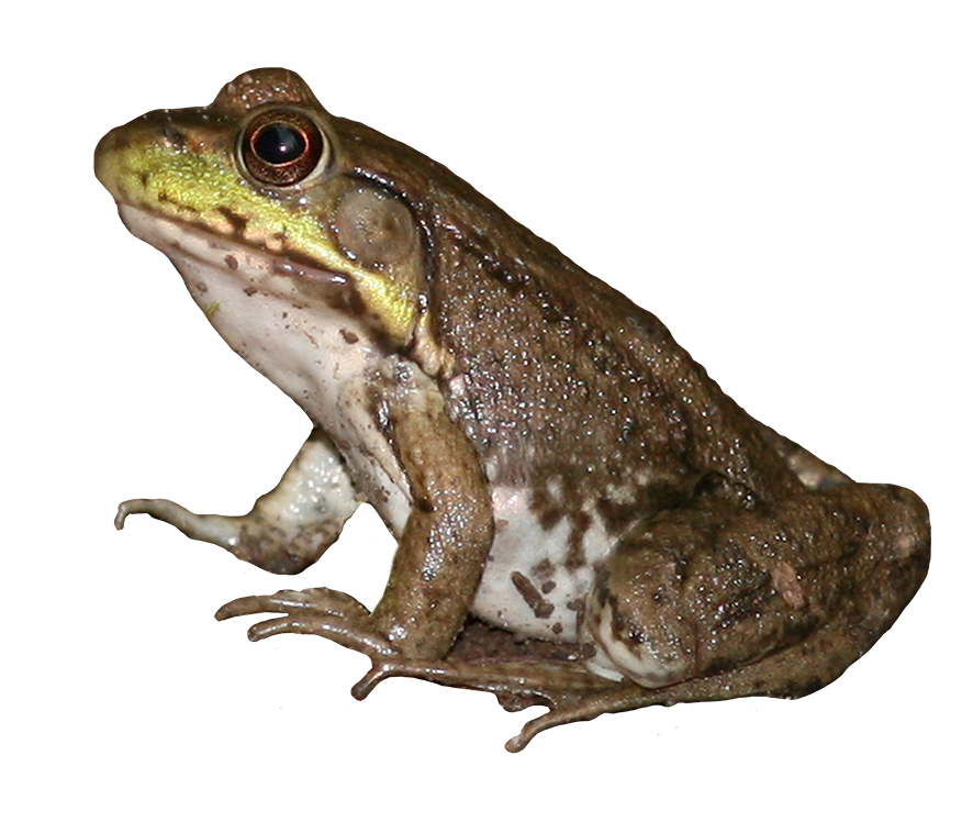 Brown Frog Png - froch clipart · brown green frog
