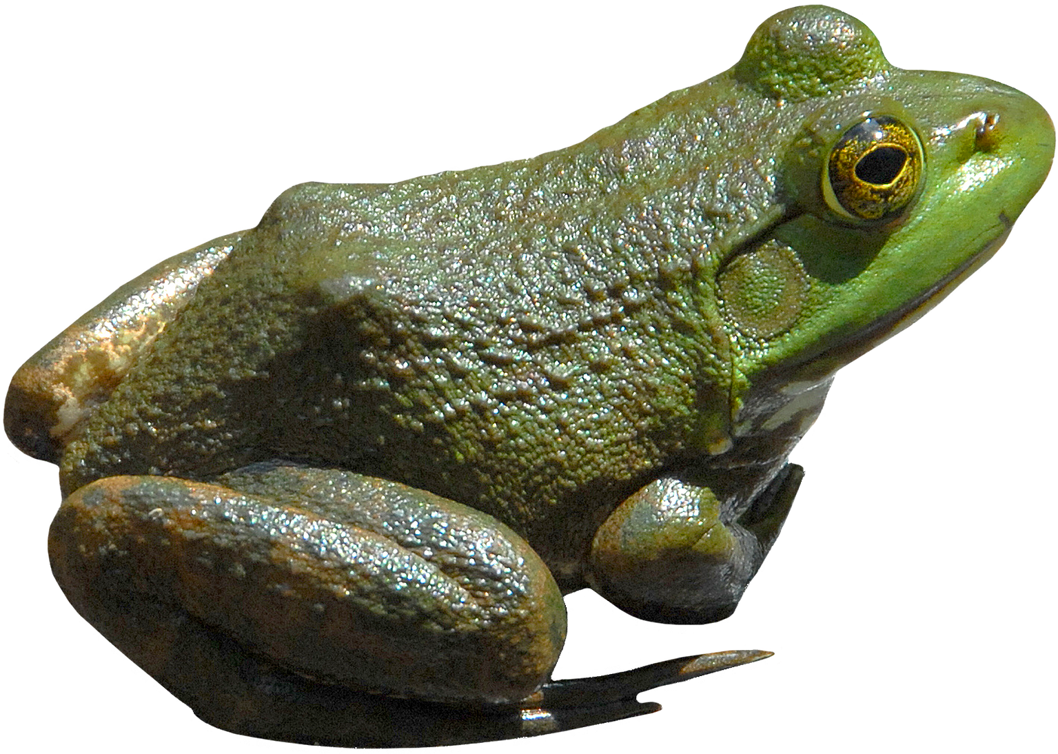 Frog Png - Frog PNG