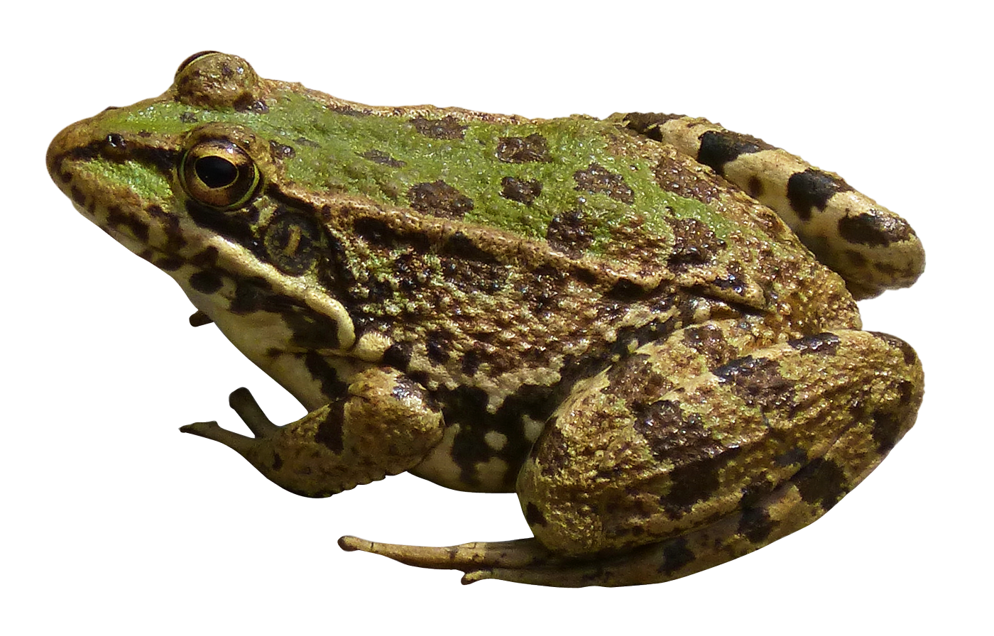 Frogs Png - Frog PNG