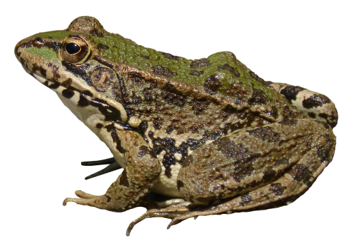 Frog Png - Frog PNG Image