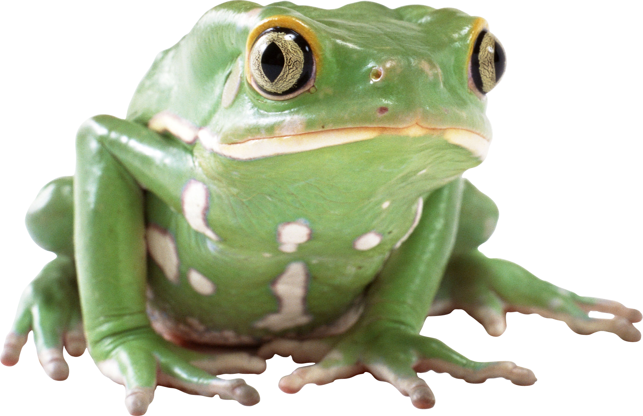 Frogs Png - frog PNG image