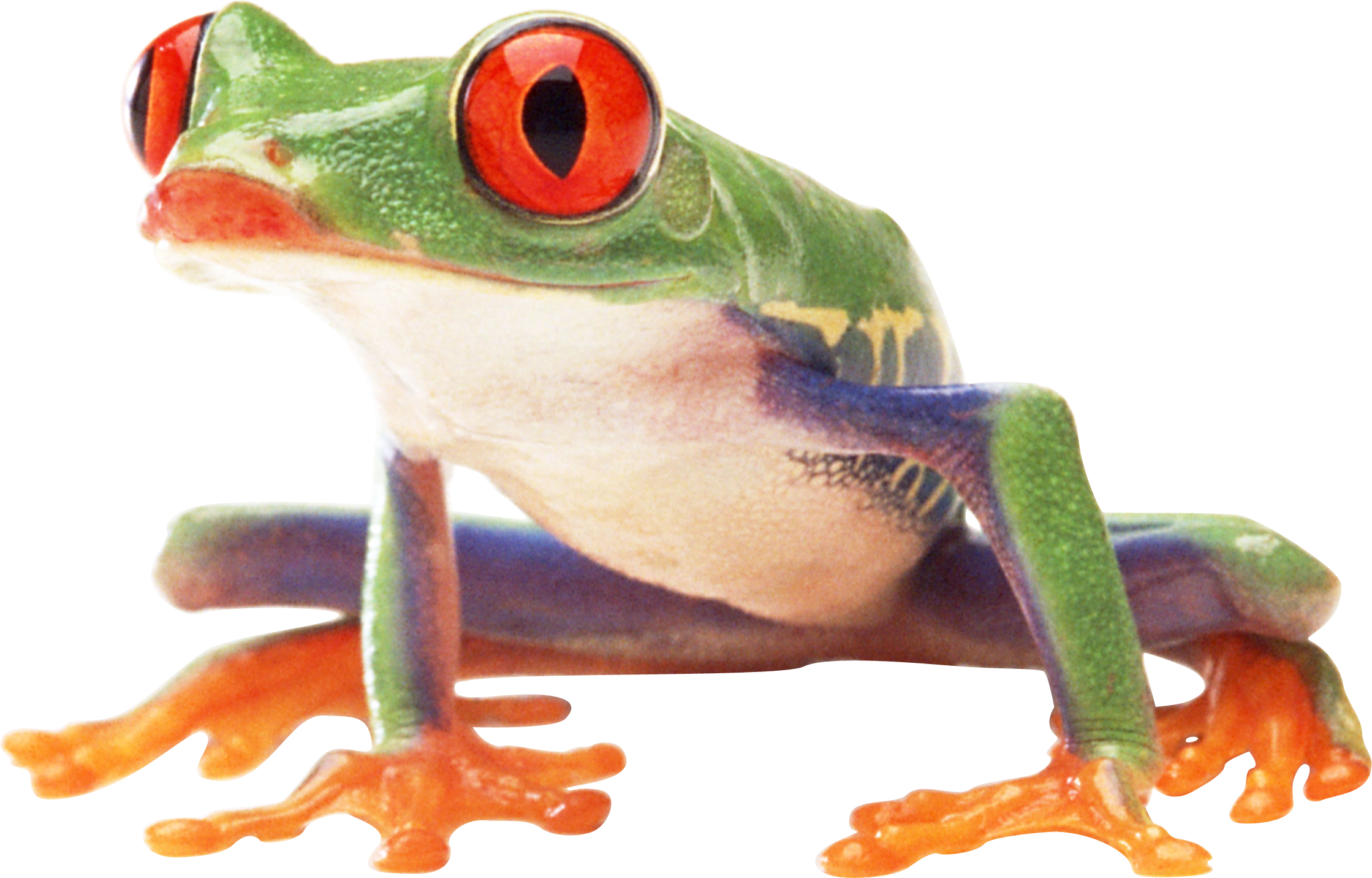 Frogs Png - frog PNG image (With images) | Tree frogs, Frog, Frog pictures