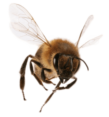 Bee Png Transparent - Front View Bee