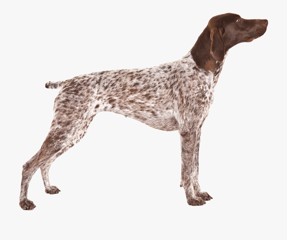 German Shorthaired Pointer Png - German Shorthaired Pointer - German Shorthaired Pointer ...