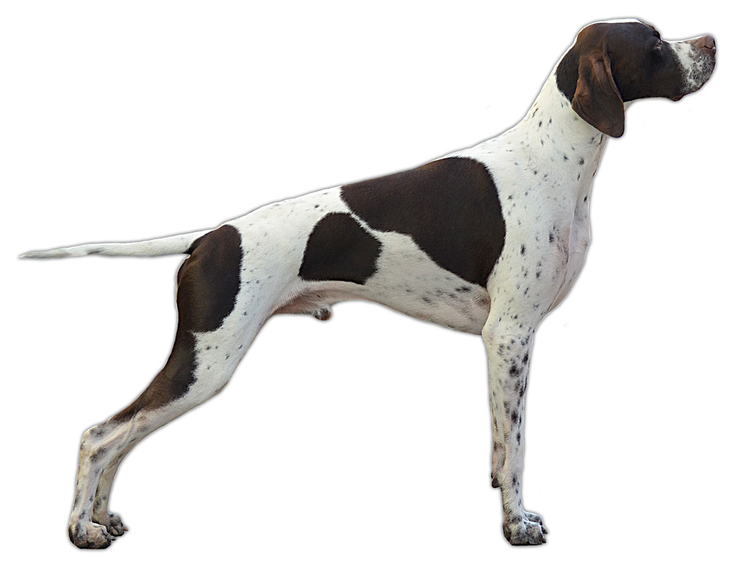 German Shorthaired Pointer Png - German Shorthaired Pointer German Wirehaired Pointer Bracco German ...