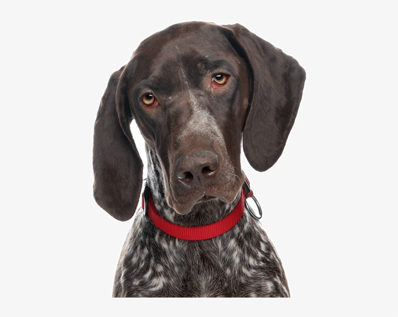 German Shorthaired Pointer Png - German Shorthaired Pointer Transparent PNG - 565x585 - Free ...