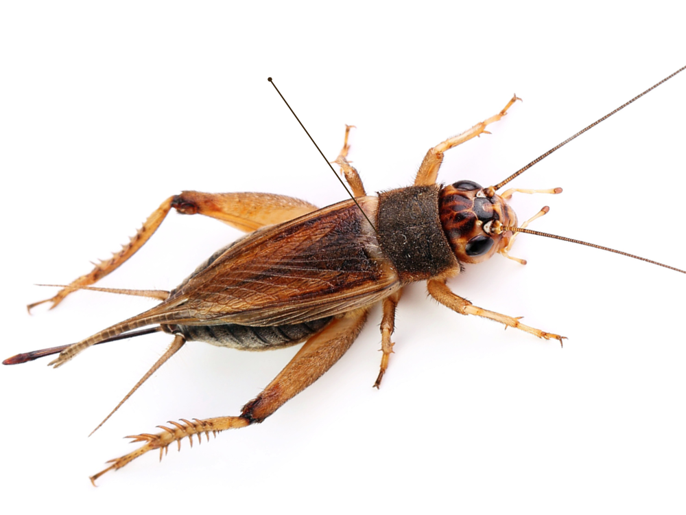 Cricket Insect Png - Getty Images