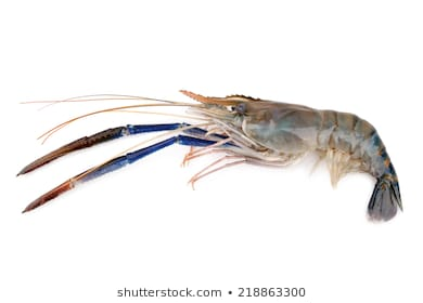 Giant Freshwater Prawn Png - Giant Freshwater Prawn Images, Stock Photos & Vectors | Shutterstock