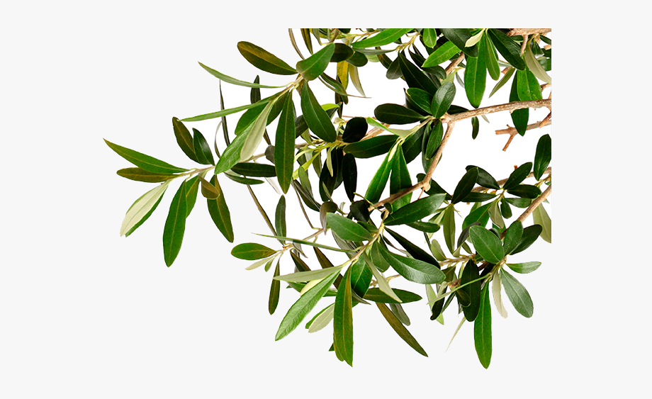 Go To Image Olive Tree Branch Png Tr 2055282 Png Images Pngio Leaf plant tree shrub png image high quality format: pngio com