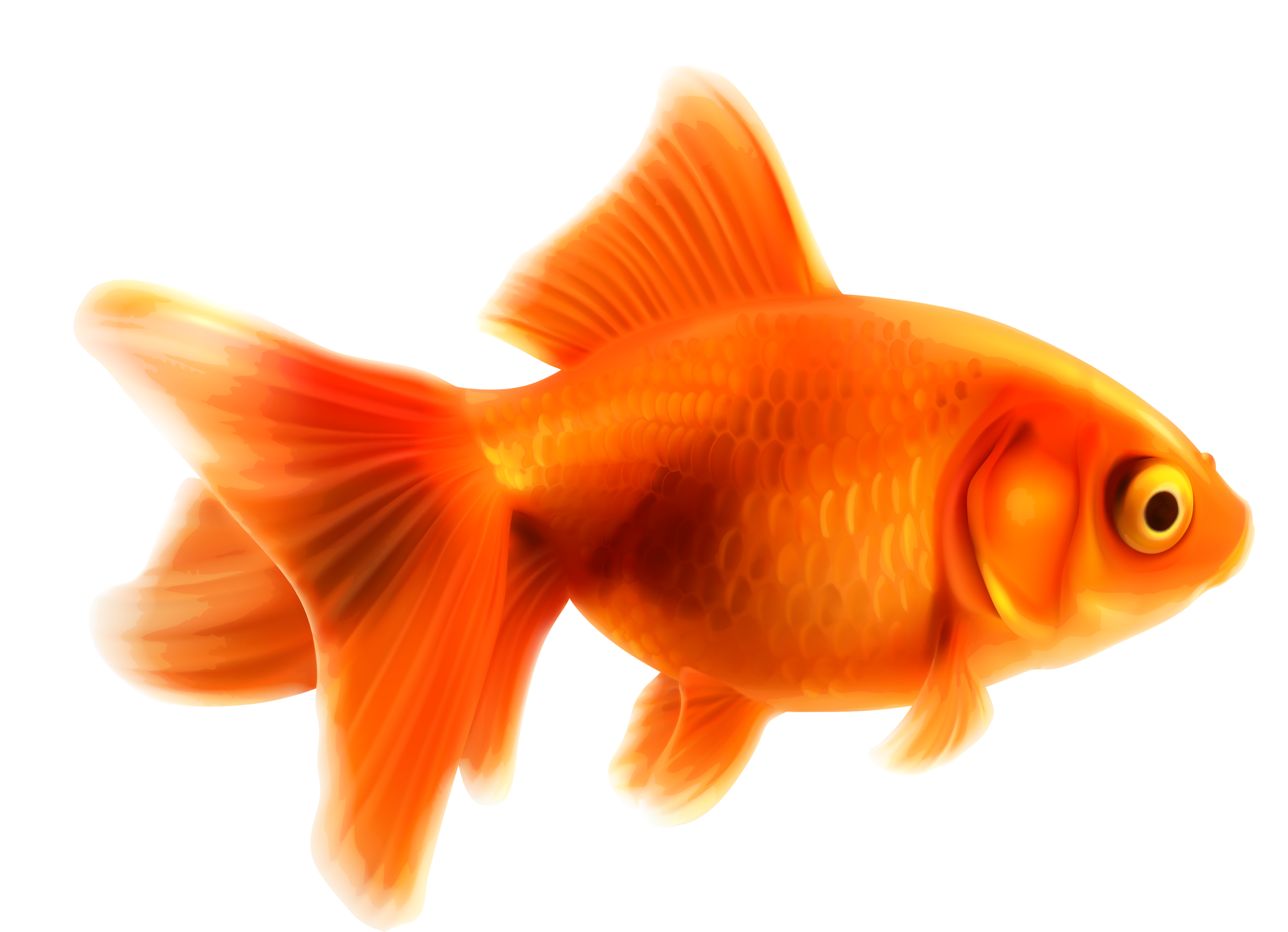 Gold Fish Png Free Gold Fish Png Transparent Images 44003 Pngio