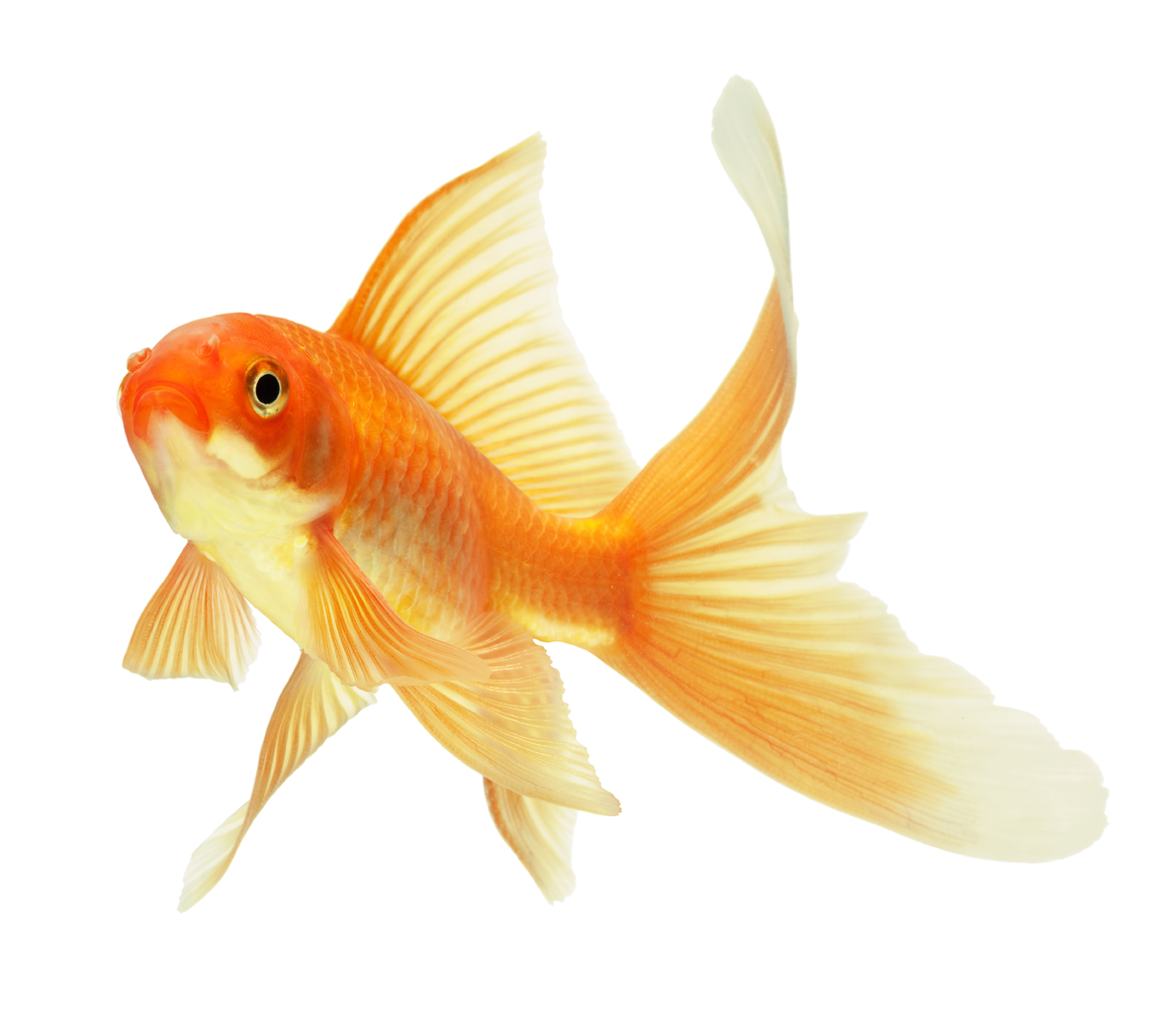 Goldfish Png 1189 10 47825 Png Images Pngio