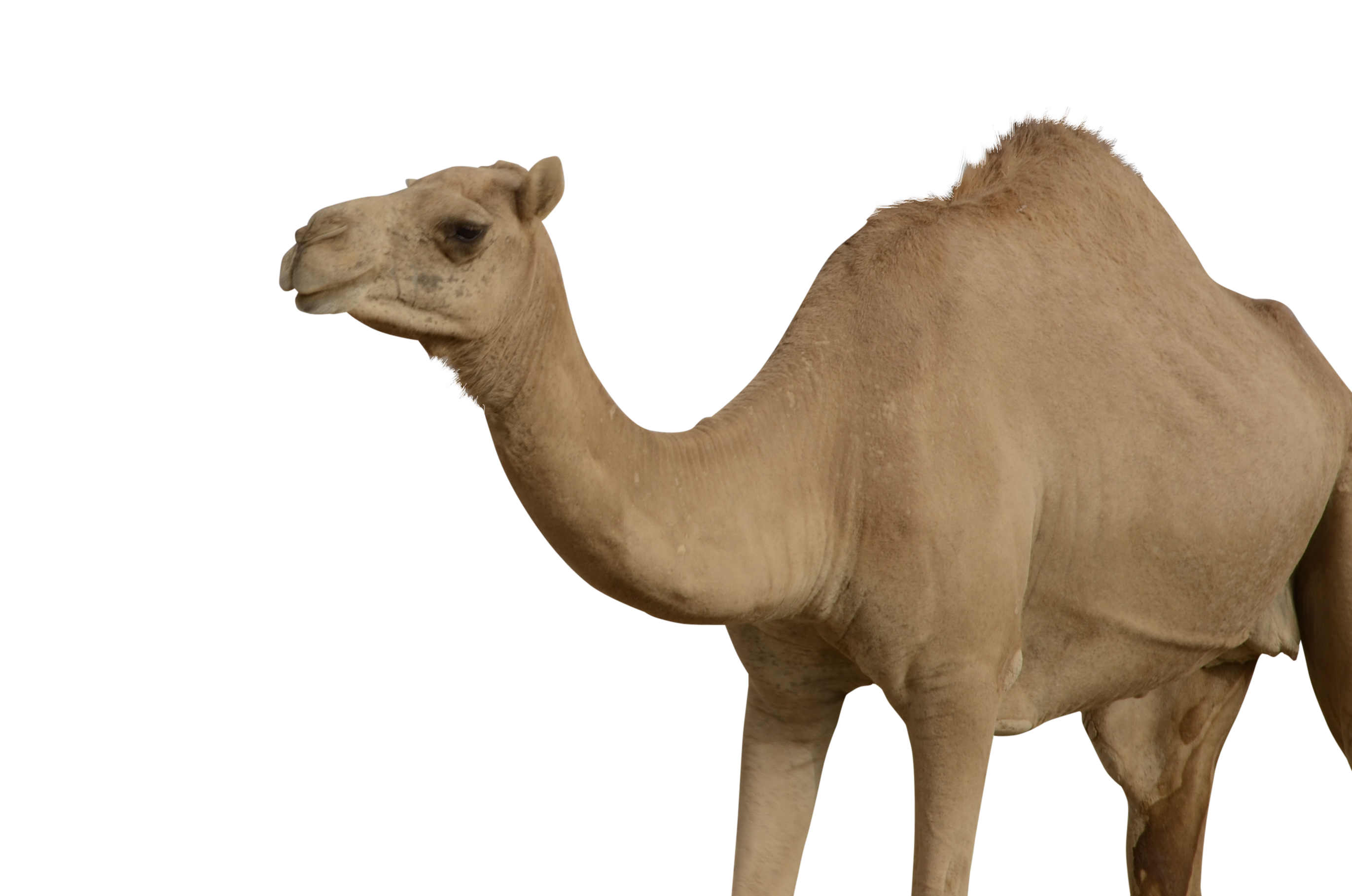 Camel Png - Grab and download Camel PNG Picture
