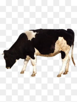 Grazing Cow Png - grazing cows, Dairy Cow, Cattle, Animal PNG Image and Clipart