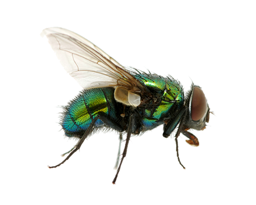 Flying Bug Png - green fly PNG image