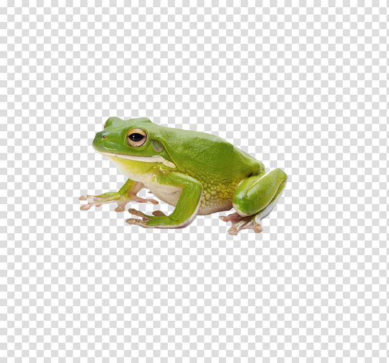 Common Green Frog Png - Green frog, Common frog Amphibian Tadpole, frog transparent ...