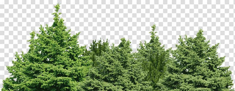 Background Forest Png - Green leaf trees, Spruce Fir Pine Forest Tree, forest background ...