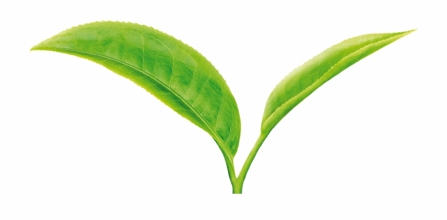 Green Tea Leaf Png Free Png Images Cli 557356 Png Images Pngio