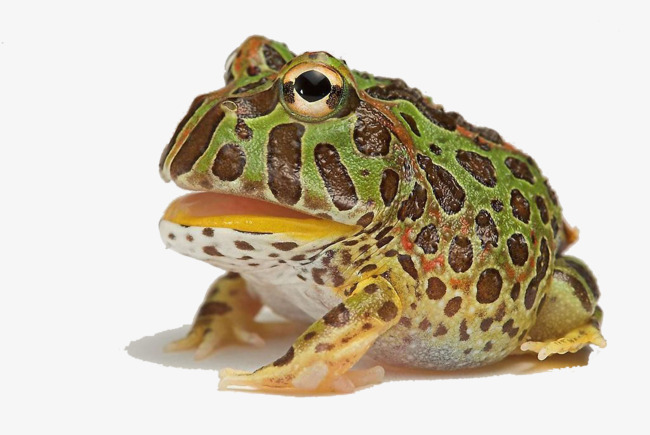 Horned Frog Png - Hd Creative Horned Frogs, Horned Frogs, Pet, Wild Animals PNG ...