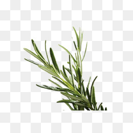 Herb Png - herb rosemary