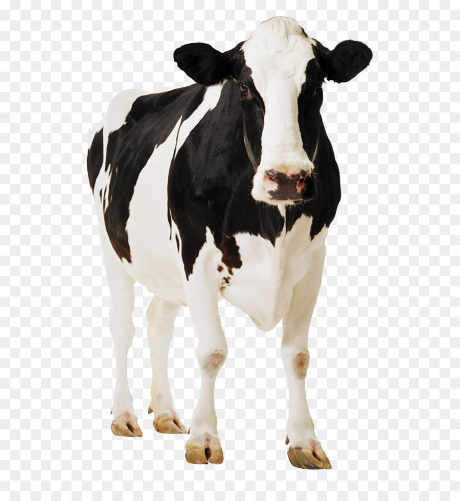 Holstein Cow Png - Holstein Friesian cattle Gyr cattle Milk - Positive cows png ...