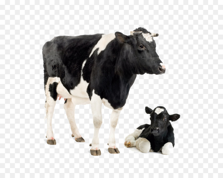 Holstein Cow Png - Holstein Friesian cattle Jersey cattle White Park cattle Calf ...