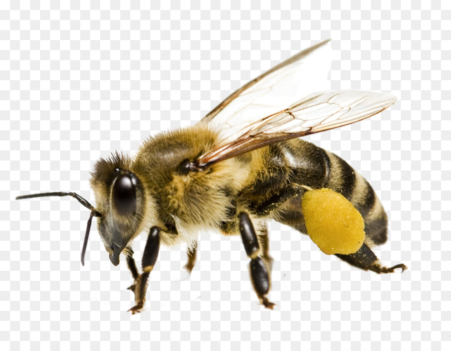 Honey Bee Png - Honey bee Bee pollen Yellowjacket - bumble bee png download - 1091 ...