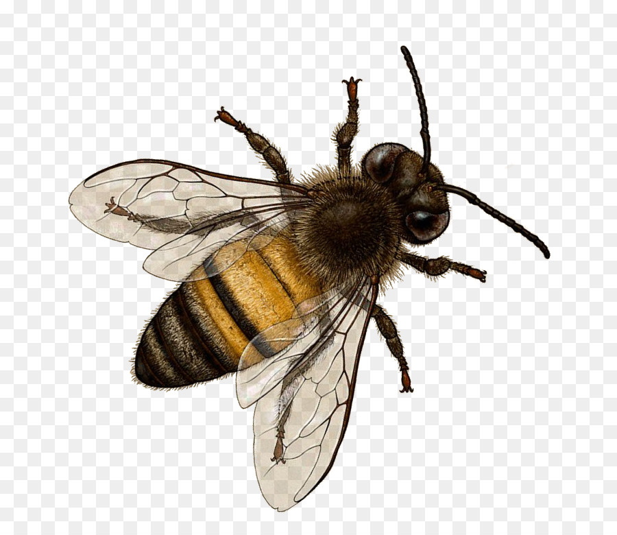 Bee Png - Honey bee Insect Bombus terrestris Hornet - bee