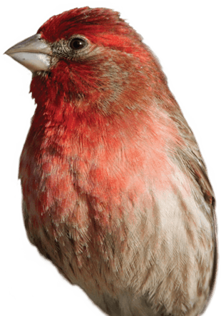 House Finch Png - House Finch - 3D® Pet Products3D® Pet Products