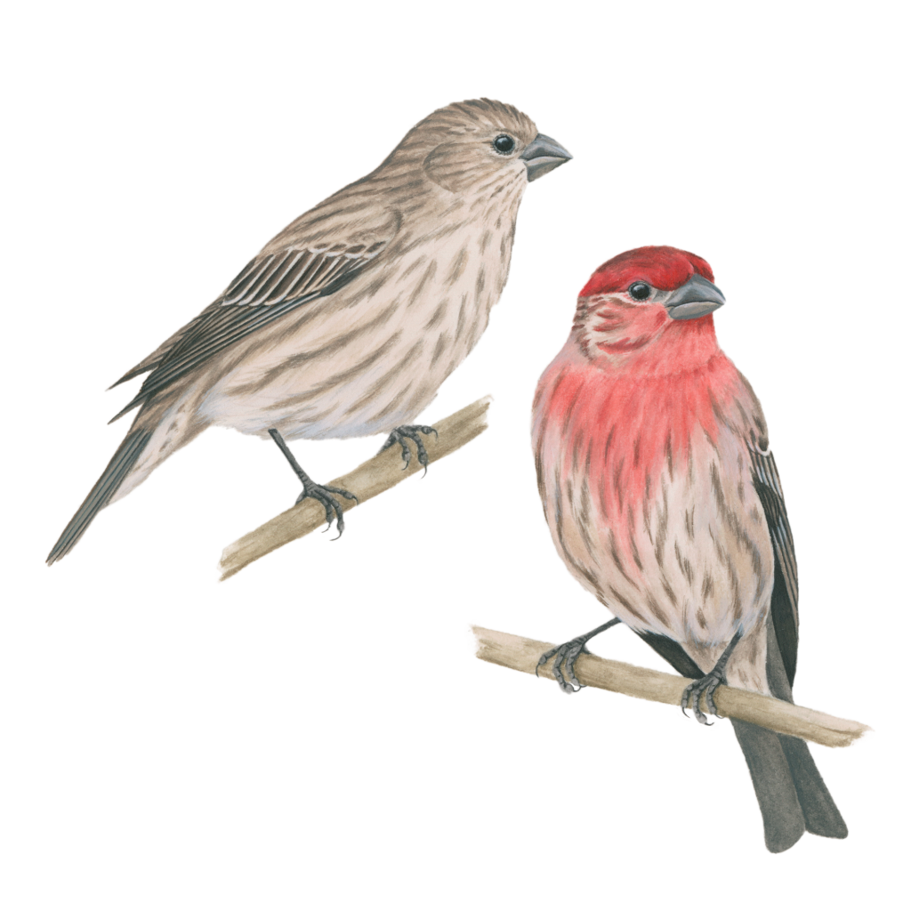 House Finch Png - House Finch | Celebrate Urban Birds