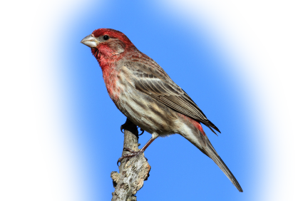 House Finch Png - House Finch - Cole's Wild Bird Products