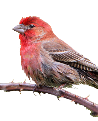 House Finch Png - House Finches   Electronic Bird Control   Repel Pest Birds   Bird ...