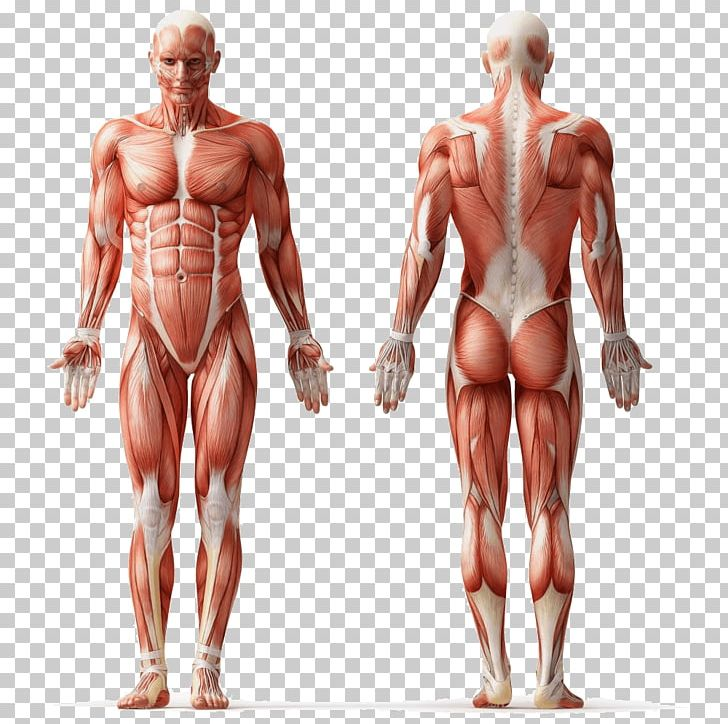 Anatomy Png - Human Anatomy Muscle Human Body Muscular System PNG, Clipart ...