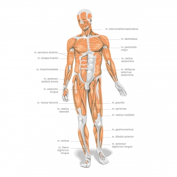 Anatomy Png - Human Anatomy Png, Vector, PSD, and Clipart With Transparent ...