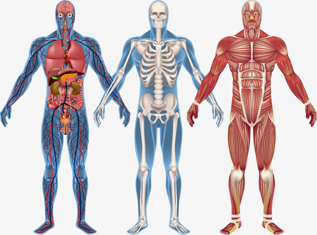 Anatomy Png - Human Body Model Png & Free Human Body Model.png Transparent ...