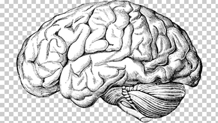 Brain Anatomy Png - Human Brain A Text-book Of Anatomy Human Body PNG, Clipart ...
