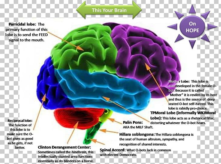 Lateralization Of Brain Function Png - Human Brain Lateralization Of Brain Function Cerebral Cortex ...