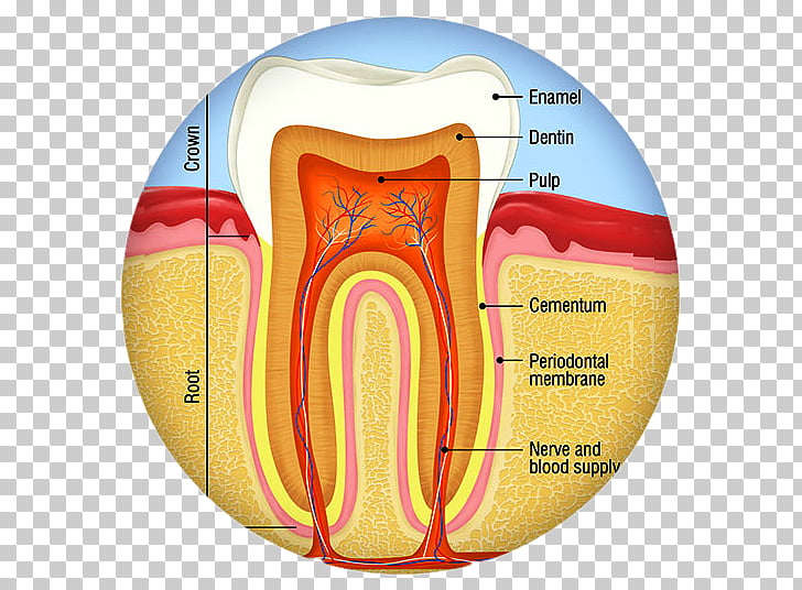 Dental Anatomy Png - Human tooth Dental anatomy Tooth decay Endodontic therapy, crown ...