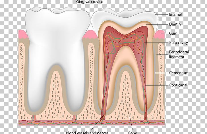 Dental Anatomy Png - Human Tooth Pulp Dentistry Nerve Blood Vessel PNG, Clipart ...