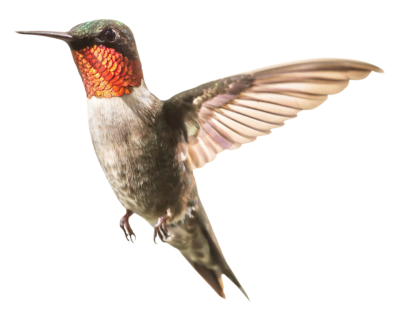 Humming Bird Png - Humming Bird Png Transparent (#1297915) - HD Wallpaper Download
