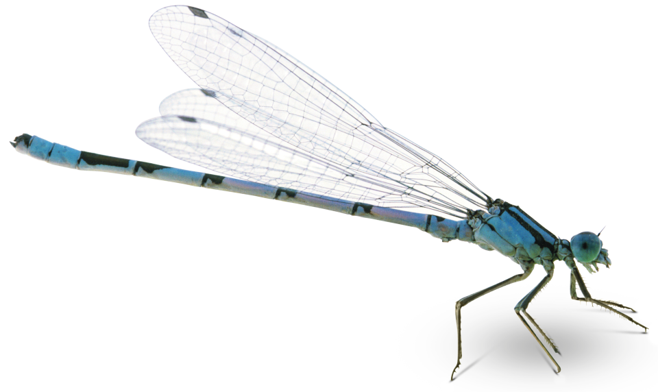 Damselfly Png - Image result for dragonfly .png | Types of insects, Insects, Dragonfly
