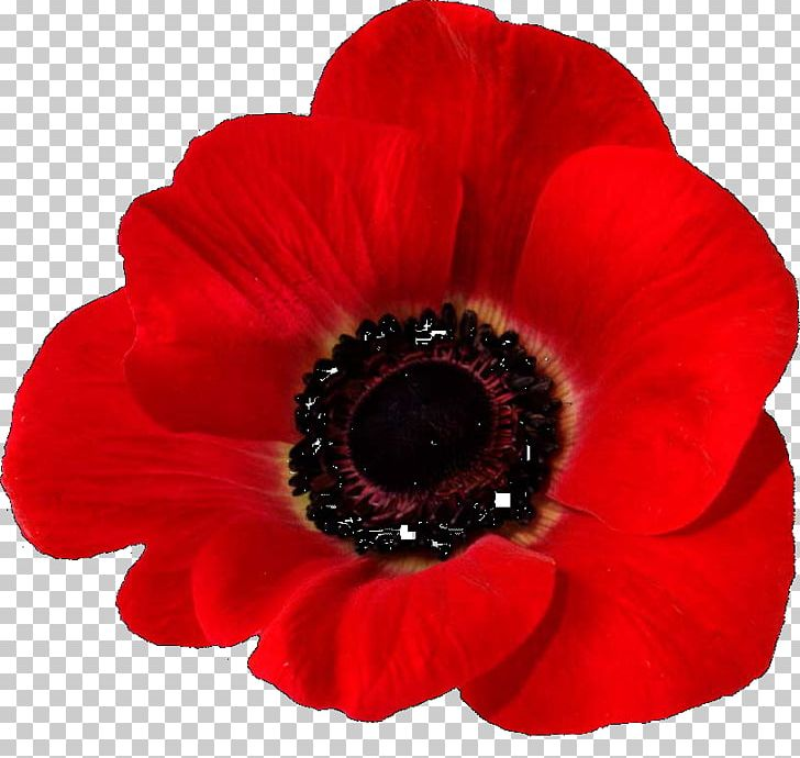 Armistice Day Png - In Flanders Fields Remembrance Poppy Common Poppy Armistice Day ...