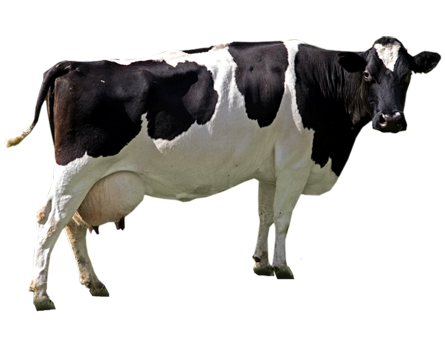 Indian Cow Png Images - indian cow png 1